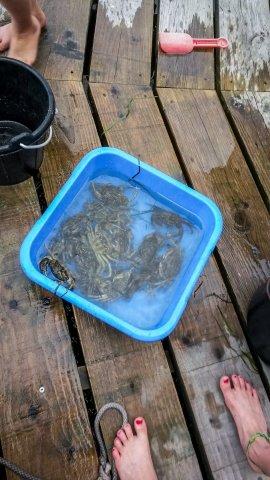 Immer ein großer Spaß, Krebse angeln für die Kleinen.